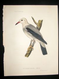 Japan Perry Expedition 1856 Antique Hand Col Bird Print. Heterornis Sericea 5